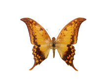 Dabasa Payeni Evan Big Yellow Brown Butterfly Isolated With Clipping Path On White Background