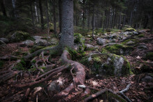 Tree Roots Among Stones And Mo...