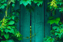 Texture Of Old Wooden Fence With Vegetation. Close Up Of Wooden Planks With Branches Of Green Leaves.