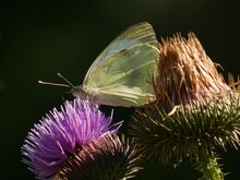 Large White Butterfly (Pieris ...