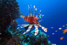 Lion Fish In Red Sea, Egypt, U...