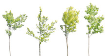Four Young Green Maples Isolat...