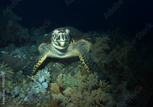 Fotografering Hawksbill turtle in Red Sea, Egypt, underwater photograph
