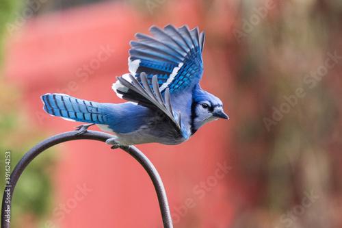 Fotografie, Obraz blue jay (Cyanocitta cristata) in fall