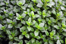 In Nature Grows Stinging Nettl...