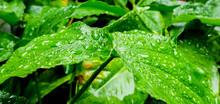 Leaves Under Summer Rain.