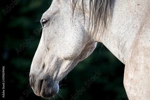 Fototapeta Horse portrait - Head of the majestic white grey horse on a black green background - peace relaks -closed eye obraz