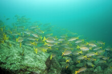 The Shoal Of Fish In Mexiko. S...