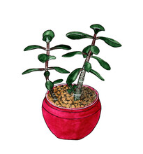 Indoor Green Plant Crassula In A Pink Pot On A White Background. Watercolor Illustration.