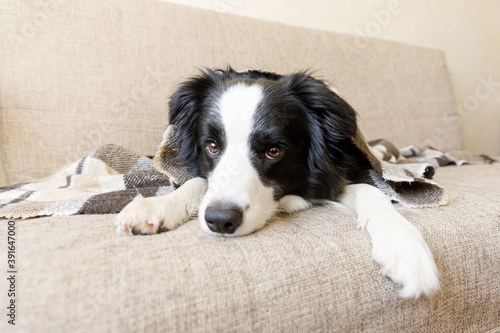 Funny puppy dog border collie lying on couch under plaid indoors. Little pet dog at home keeping warm hiding under blanket in cold fall autumn winter weather. Pet animal life concept. © Юлия Завалишина
