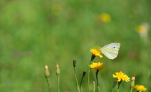 A White Butterfly, A Cabbage W...