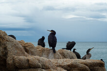 Group Of Cormorants Perched On...
