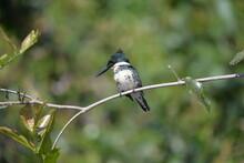 Green Kingfisher Female (Chloroceryle Americana), Pantanal