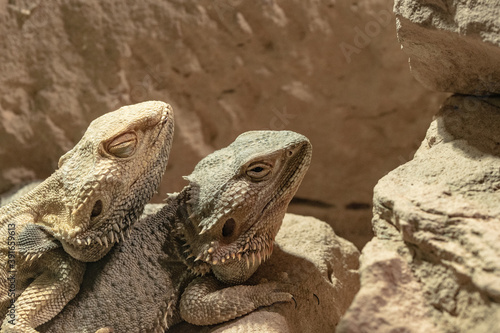 Cuadros en Lienzo Closeup of two lizards resting in the sun on the stones