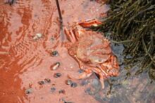 Orange Rock Crab