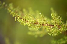 クソニンジン、学名:Artemisia Annua 、中国名:黄花蒿、英名:sweet Annie、生薬名:オウカコウ、抗マラリヤ薬、日本、秋撮影