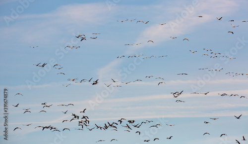 Fototapeta premium Migration of flock of cranes in the sky. High quality photo