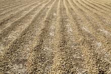 Sun Dried Coffee Beans In Row ...