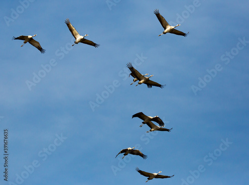 Fototapeta premium Flight of migrating cranes in cloud sky. High quality photo