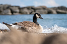 Selective Focus Shot Of A Canada Goose By The Sea
