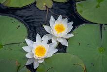 High Angle Shot Of Lilies And ...