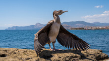 A Cormorant Bird With Its Wings Spread Stands On A Rock By The Sea
