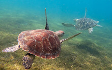 Closeup Shot Of Big Turtles Sw...