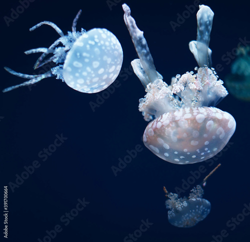 Fotografering Closeup shot of jellyfish swimming in the blue waters