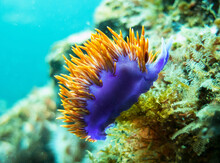 Closeup Shot Of A Sea Slug Swi...