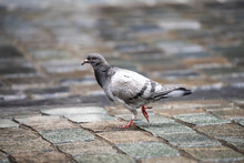 Selective Focus Shot Of A Pige...