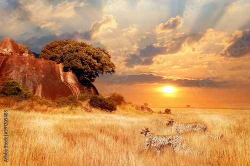 Cheetahs in the African savanna against the backdrop of beautiful sunset. Serengeti National Park. Tanzania. Africa.