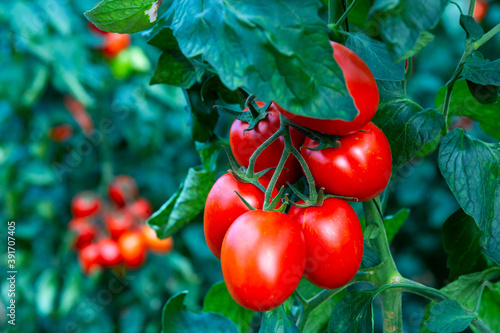 Rows of harvest of ripe red tomatoes in farm greenhouse - fototapety na wymiar