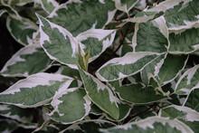 Selective Focus Shot Of Fresh Foliage Of Cornus Alba Elegantissima