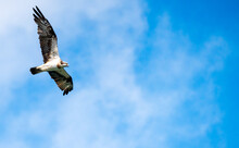 飛行中のミサゴ