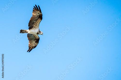飛行中のミサゴ Fototapet