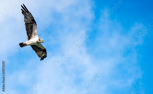飛行中のミサゴ Billede på lærred