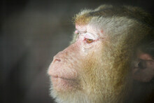 Close Up Monkey Face, Sideways Looking Forward, And The Background Blurred.
