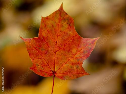 Jesienny czerwony liść w warszawskim parku - fototapety na wymiar