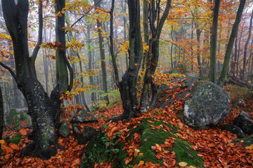 From the lawn covered with orange leaves is located beautiful old stone. Mystical foggy forest of the beech trees. Autumn landscape. The early morning mist. Natural landscape. Free space for text.