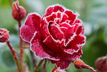 Rose In Frost.  Well, The Firs...