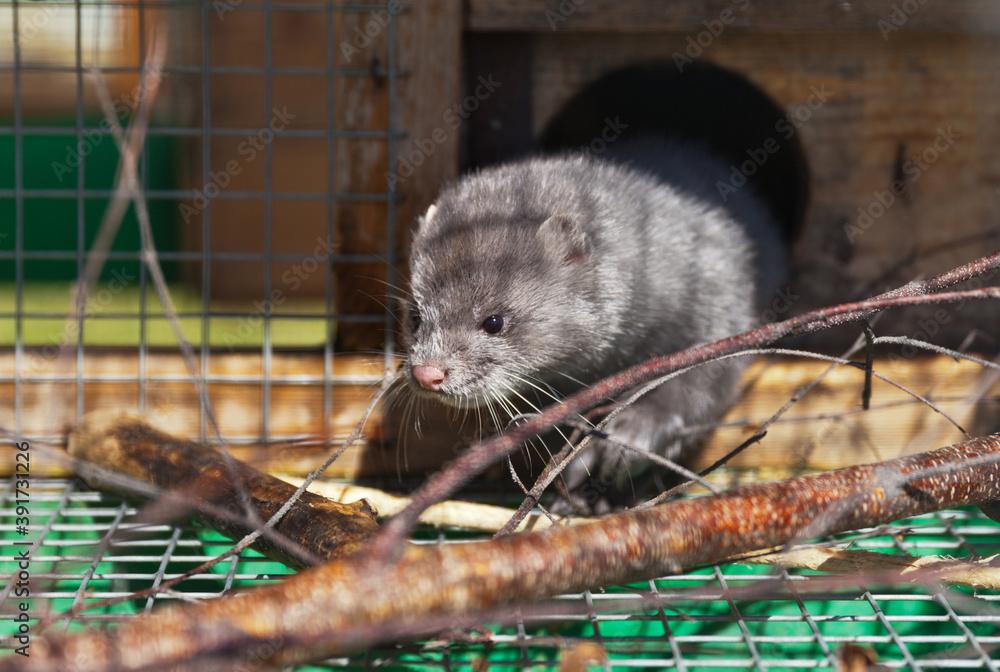 Fototapeta Fluffy blue-gray mink in a cage. Raising animals in captivity (Lat. Mustela lutreola)