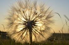 Dandelion On The Meadow