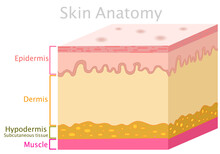 Skin Anatomy. Structure Parts Dermis, Epidermis, Hypodermis, Subcutaneous Tissue, Muscle. Diagram. Simple Human Skin Layer. Explanations. Cross Section. White Background. Medical Illustration Vector