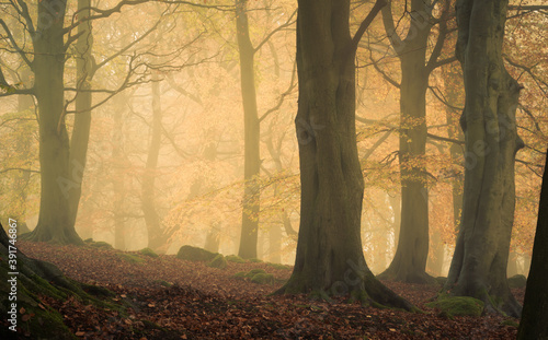 Canvas Print Beech at Fishpond Wood, Nidderdale