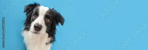 Funny studio portrait of cute smiling puppy dog border collie isolated on blue background Fototapeta