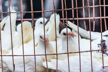 White Pigeon Doves In A Metal Wire Cage, On Sale At Street Market In Qingdao, Shandong Province, China
