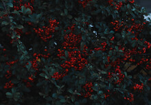 Tree With Red Fruits With Water Drops