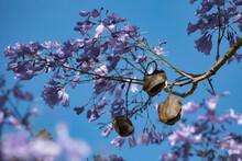 Jacaranda Flower And Seed Pods With Blue Sky. Grafton, Australia.