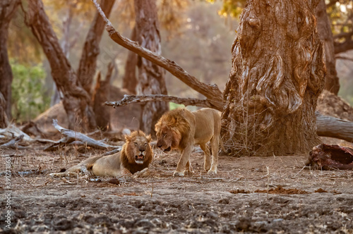 Male african lion (Panthera leo) brotherhood resting at sunset with the remains of an African Elephant calf under big trees with the last orange light in Mana Pools National Park in Zimbabwe