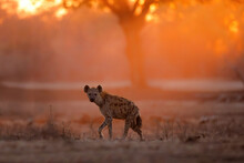 Spotted Hyena (Crocuta Crocuta) Wlking At Sunrise With Orange Light In The Background In Mana Pools National Park In Zimbabwe